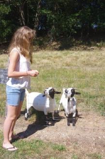 Les chèvres aussi adorent les croûtons de pain!