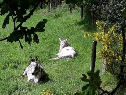 Les ânes Galipette et Galopin