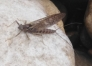 March brown ou rythrogena Germanica