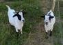 Les animaux du jardin pédagogique- les chèvres naines