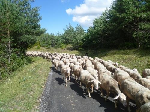GAEC_des_Traversiers_troupeau